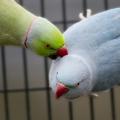 bird-couple-15x15